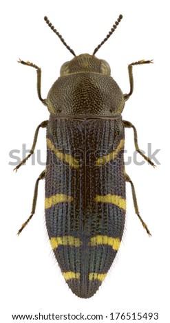 Female of jewel beetle Acmaeodera quadrifasciata isolated on white background - stock photo