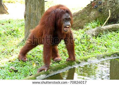Female Orangutan - stock photo