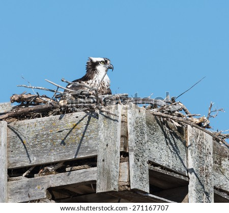 Female Osprey Sitting on Nest on Blue Sky - stock photo