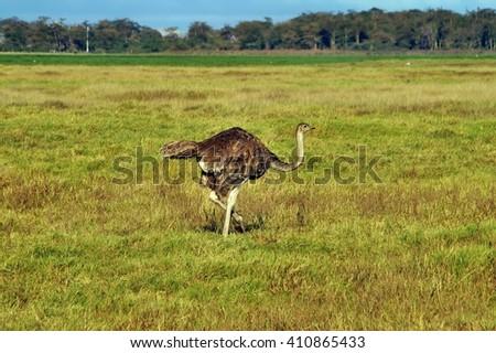 Female ostrich walk in savannah in Amboseli NP, Kenya - stock photo