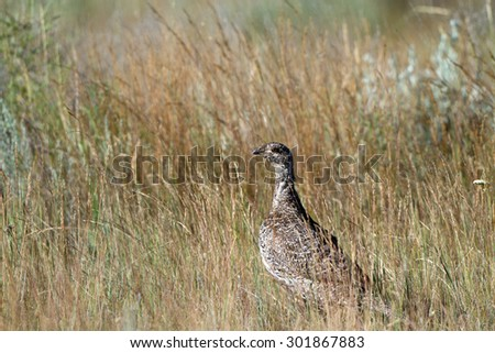 Female Pheasant in a field in central Montana - stock photo