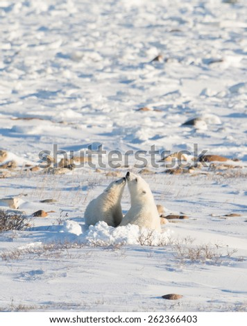 Female polar bear bedded down and nursing a cub along the shore of the Hudson Bay near Churchill, Manitoba - stock photo