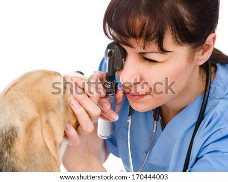 female professional vet doctor examining pet dog eyes - stock photo