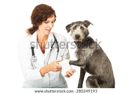 Female professional veterinarian doctor wrapping up an injured paw on a mixed breed dog that is looking at the camera - stock photo