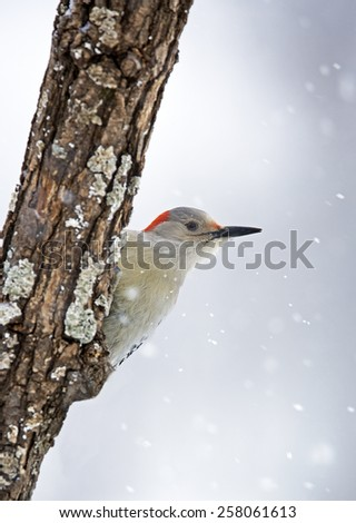 Female Red-bellied Woodpecker (Melanerpes carolinus) clinging to a snow branch - stock photo