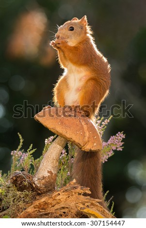 female red squirrel standing on mushrooms on tree trunk   - stock photo