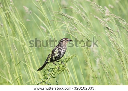 Female red-winged blackbird with food for her young. - stock photo