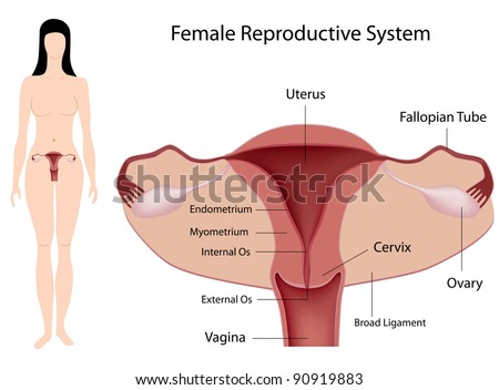 Female Reproductive System - stock photo