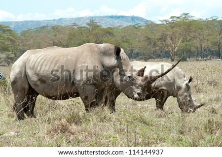 Female Rhino and Calf,  One of the largest horns in Africa.  Nakuru National Park, Tanzania. - stock photo