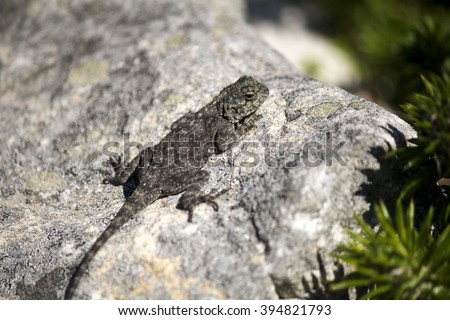 Female rock agama lizard (Agama atra), on the beach at the Cape of Good Hope - stock photo