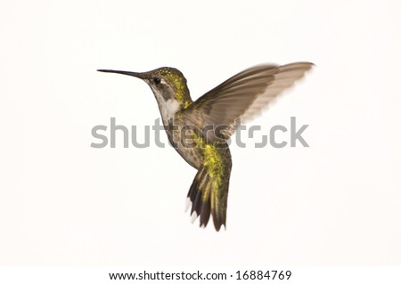 Female Ruby Red Throated Hummingbird against a White Background - stock photo