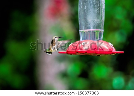 Female Ruby-throated humming bird coming in for a landing on feeder. - stock photo