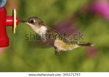 Female Ruby-throated Hummingbird (archilochus colubris) in flight at a feeder with a colorful background - stock photo