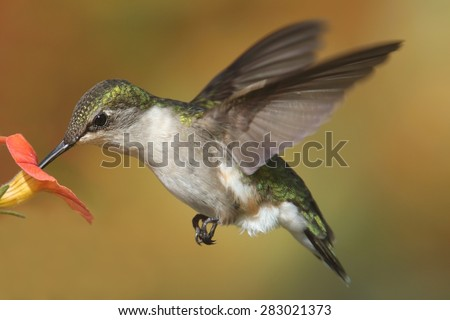 Female Ruby-throated Hummingbird (archilochus colubris) in flight with a flower and a colorful background - stock photo