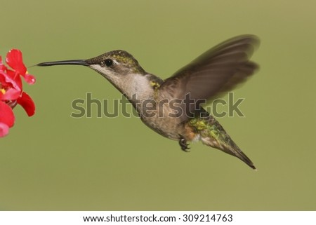 Female Ruby-throated Hummingbird (archilochus colubris) in flight with a green background and a red flower - stock photo