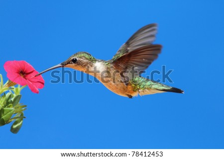 Female Ruby-throated Hummingbird (archilochus colubris) in flight with a red calibrachia flower and a blue sky background - stock photo