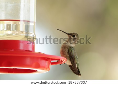 Female Ruby-throated Hummingbird (Archilochus colubris) on feeder filled with nectar (sugar water).  Selective focus with very soft background and copy space. - stock photo