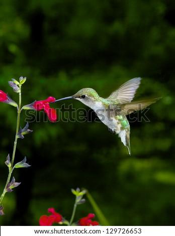 Female Ruby-Throated Hummingbird feeding at red salvia. - stock photo