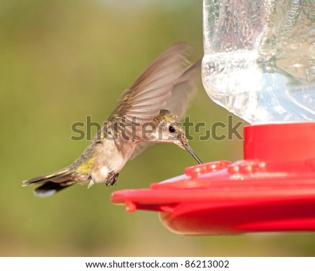 Female Ruby-throated Hummingbird hovering and drinking nectar at the feeder - stock photo