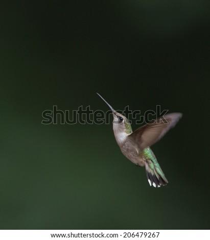 Female ruby throated hummingbird in flight - stock photo
