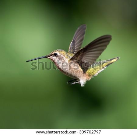 Female Ruby-throated Hummingbird in Flight on Green Background - stock photo