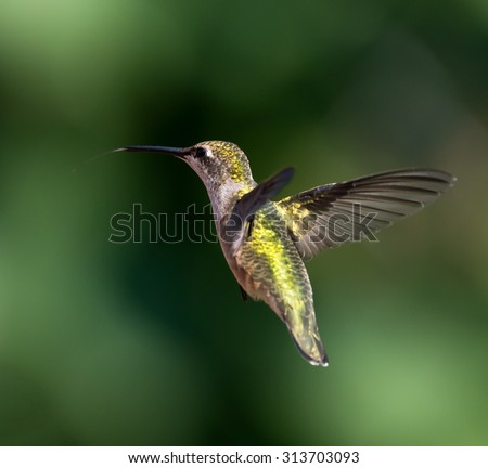 Female Ruby-throated Hummingbird in flight on green background - stock photo