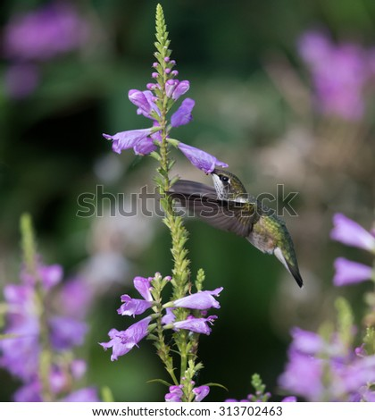 Female Ruby-throated Hummingbird sipping nectar from the purple flower on green background - stock photo