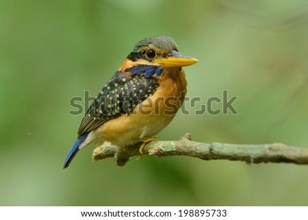 Female Rufous Collared Kingfisher - stock photo