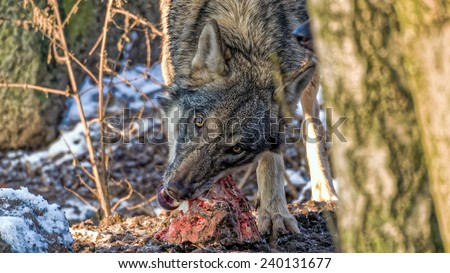 Female Scandinavian gray wolf tearing meat off a spine a looking into the camera in a snowy winter forest - stock photo