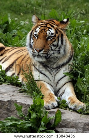 Female Siberian Tiger laying in the grass. - stock photo
