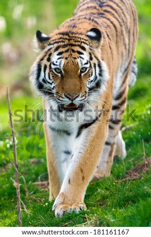 Female Siberian Tiger walking toward the viewer/Tiger/Tiger - stock photo