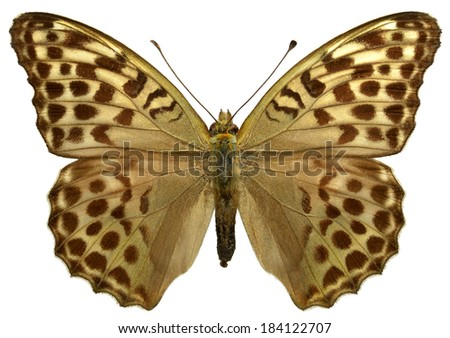 Female Silver-washed Fritillary butterfly (Argynnis paphia) isolated on white background - stock photo