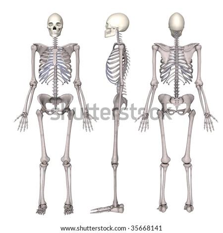 female skeleton - stock photo