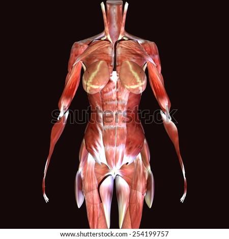 Female skeleton muscle - stock photo