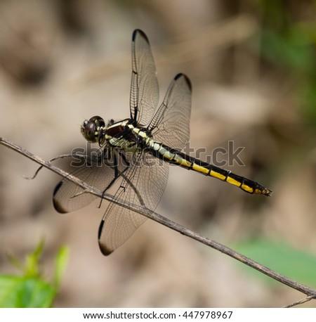 Female Slaty Skimmer (Libellula incesta) Dragonfly resting on a stem - stock photo