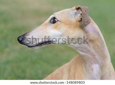 Female Spanish Galgo dog - stock photo