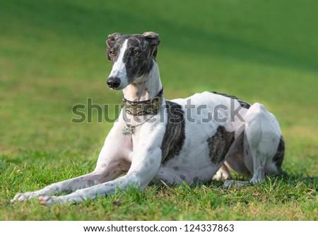Female spanish greyhound poses - stock photo
