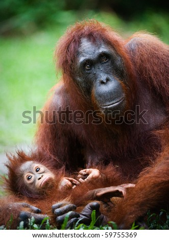 Female the orangutan with the kid on a grass. Indonesia. Borneo. - stock photo