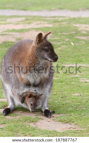 Female Wallaby with a joey - stock photo