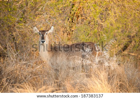Female Water buck in late afternoon light, Kruger National Park, South Africa - stock photo