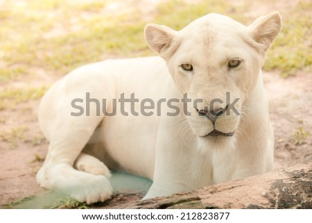 Female white lion lying on the ground - stock photo