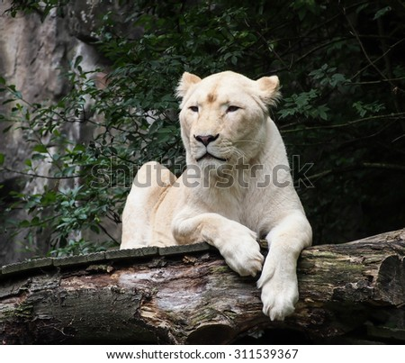 female white lion natural looking  - stock photo
