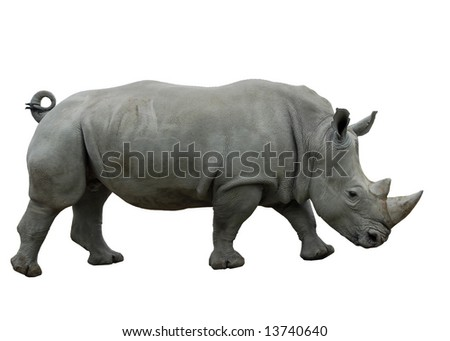 Female White Rhinoceros isolated on white - stock photo
