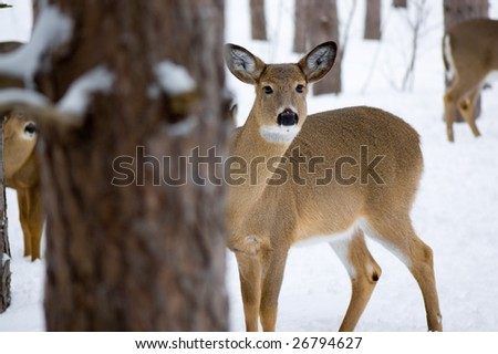 Female whitetail deer standing in the snow and peeking from behind a tree. Image taken in Ottawa, Canada. - stock photo