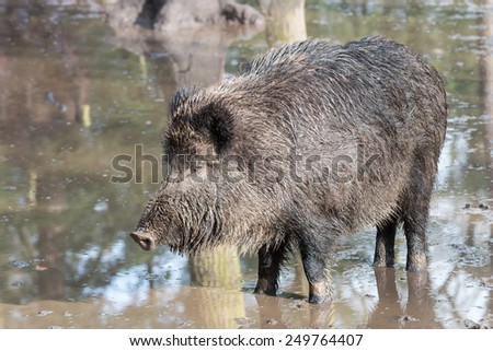 female wild boar in the flooded forest, Germany, Europe - stock photo