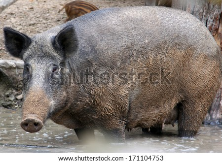 female wild boar standing in water - stock photo
