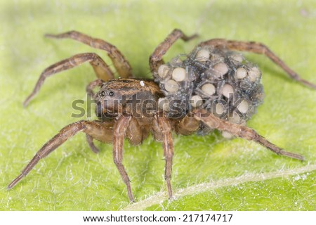 Female Wolf-spider, Trochosa with baby spiders on her back sitting on leaf, macro photo - stock photo
