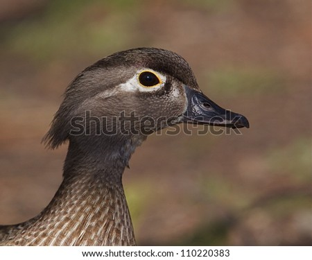 Female Wood Duck hen; highly detailed portrait; North Chagrin Reservation (park), Mayfield Village, Ohio, near Cleveland.  can crop to vertical - stock photo