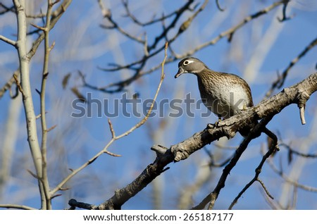 Female Wood Duck Perched in a Tree - stock photo