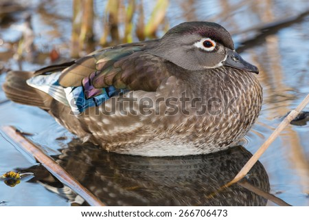 Female Wood Duck relaxing in the reeds at the edge of a pond. - stock photo